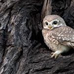 India Owlet