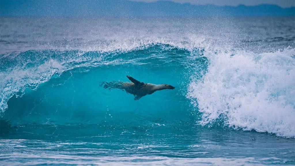 Lion Surfing