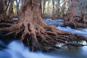 Melaleuca Trees
