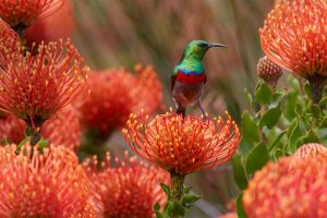 Southern Sunbird
