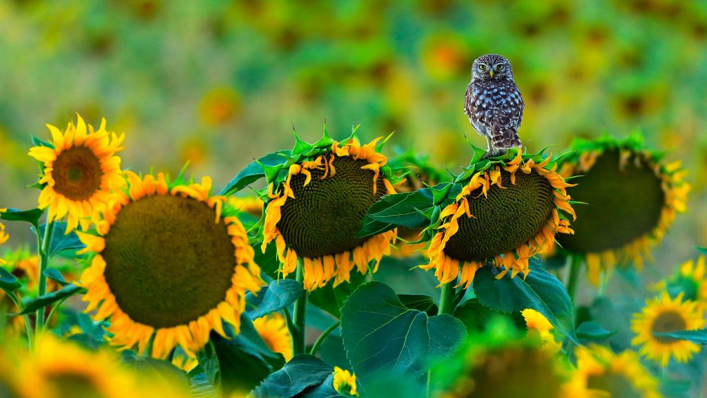 Owl Sunflowers