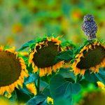 Owl Sunflowers