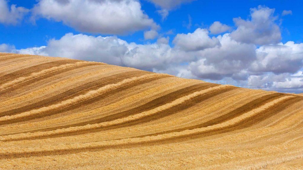 Wheat Castilla