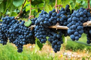 Penticton Grapes