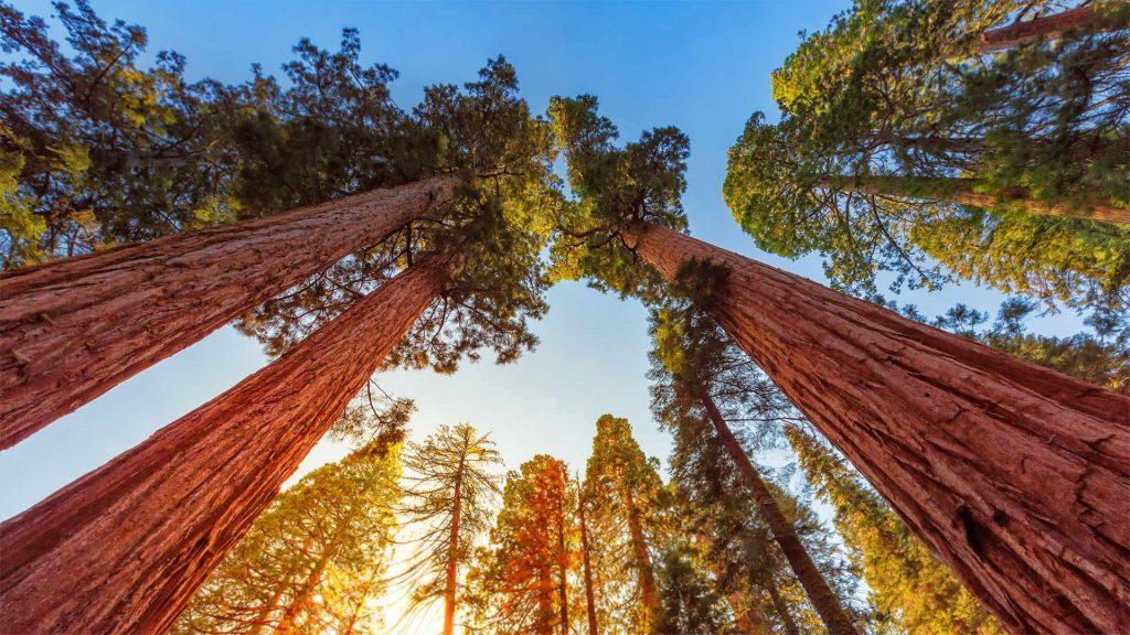 Sequoia Sunlight