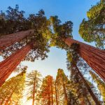 Sequoia Sunlight