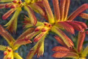 Catspaw Flowers