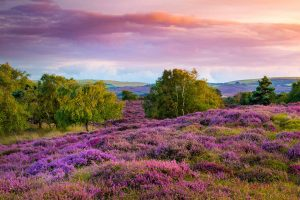 Dorset Heather