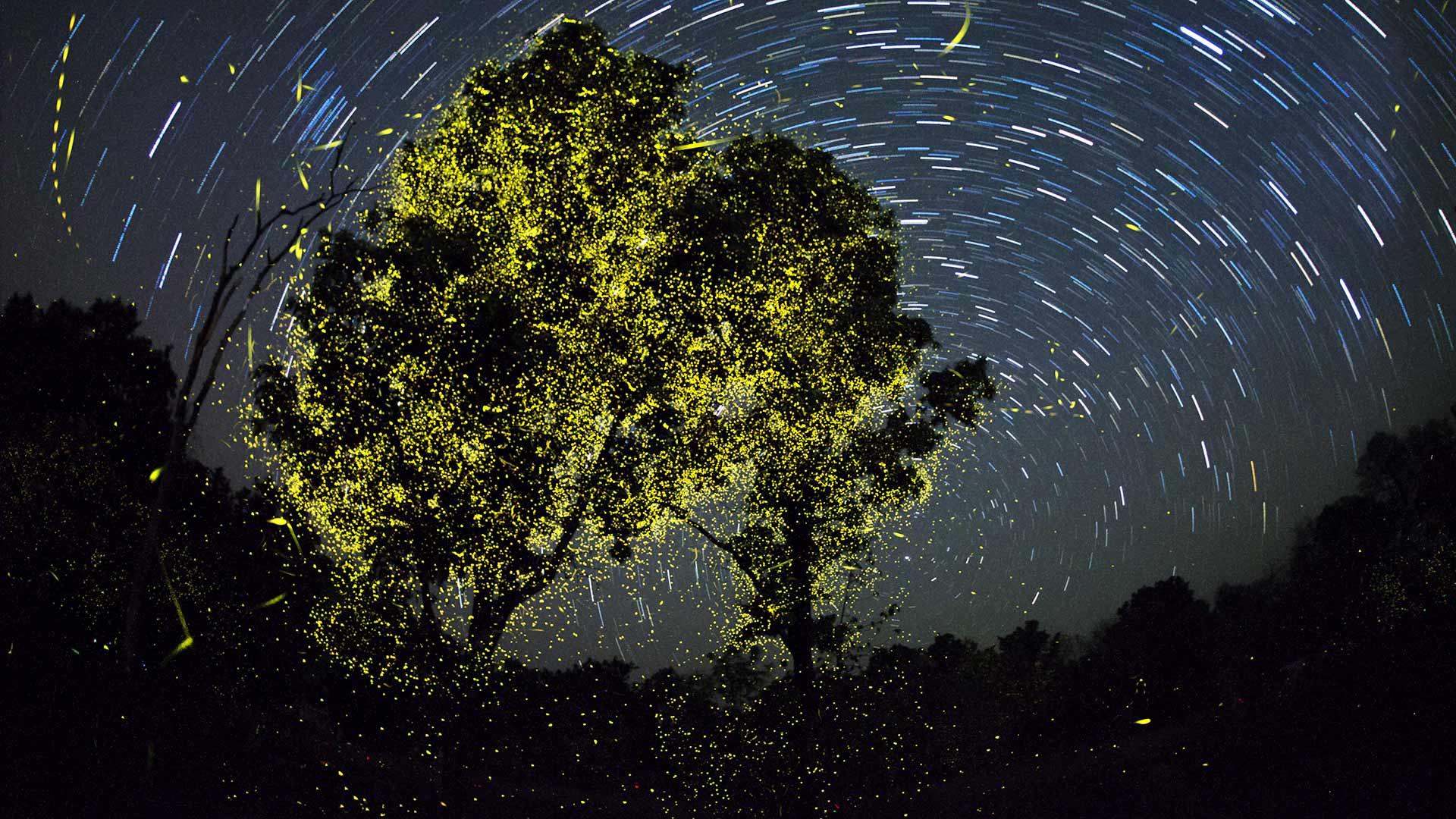 Fireflies India