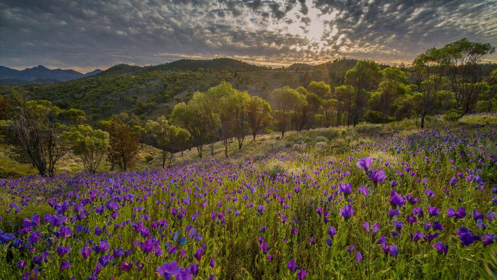 Flinders Ranges Wildflowers