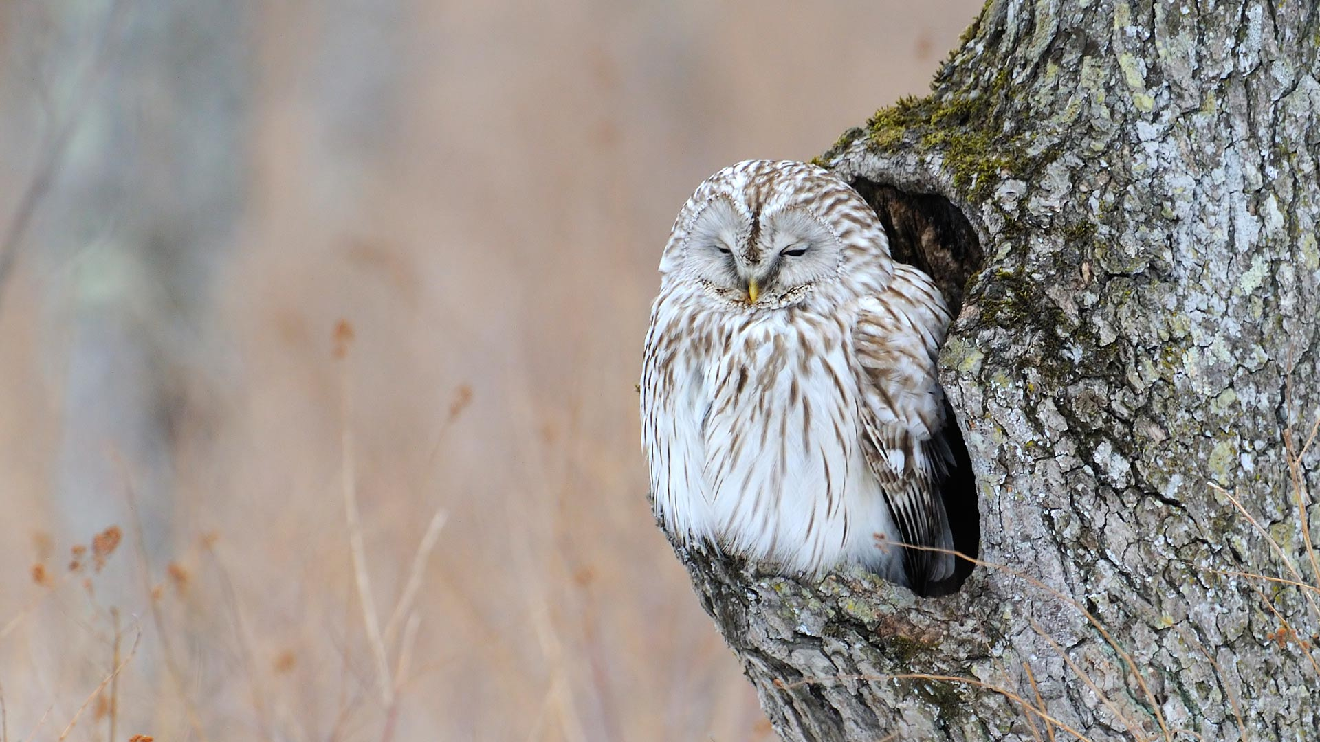 Old Owl