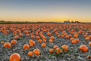 BC Pumpkins