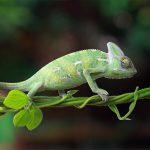 Chameleon Indonesia