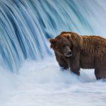 Fat Bear Week