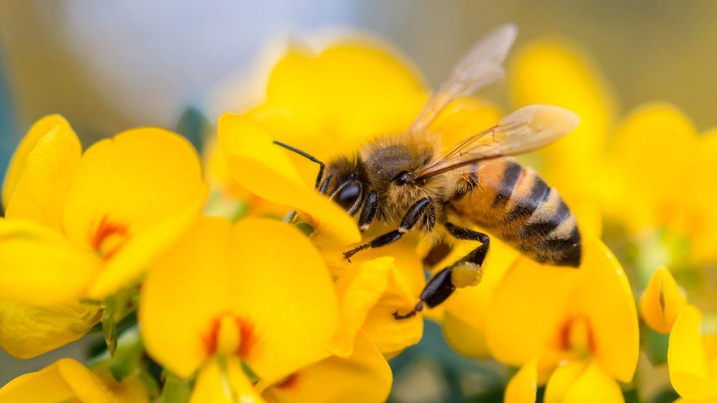 Honey Bee NSW