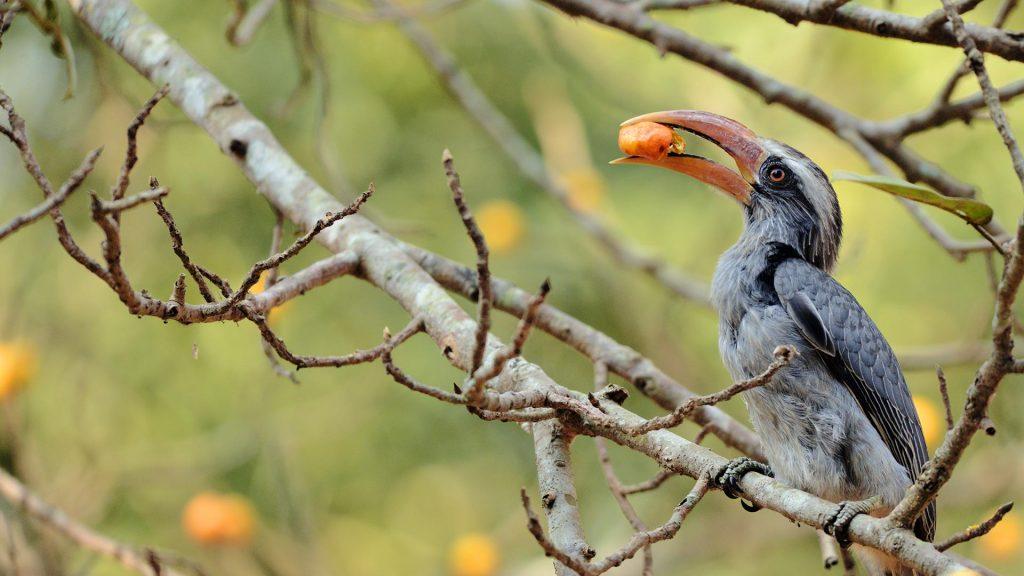 Hornbill India