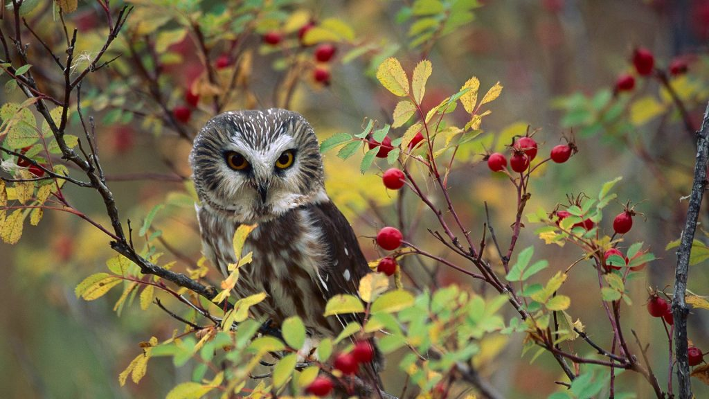 Owl Rose Bush