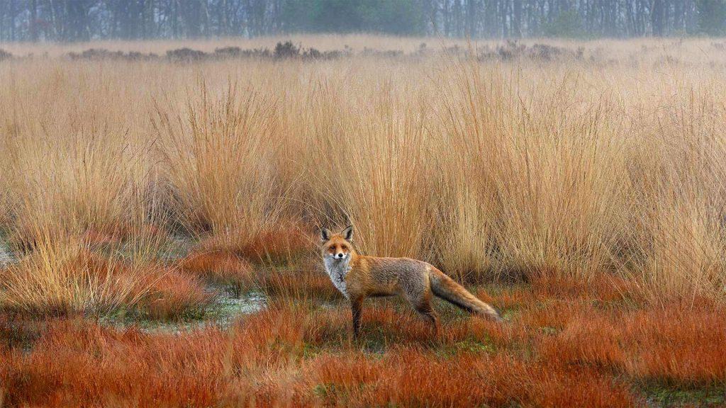 True Fox
