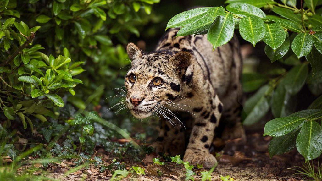 Leopard Shrubs