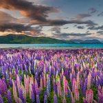 Lupine NZ