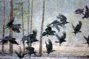 Ravens Snow