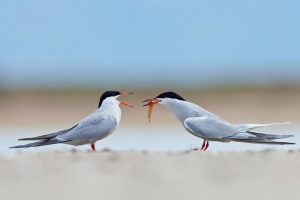 Common Terns Giving