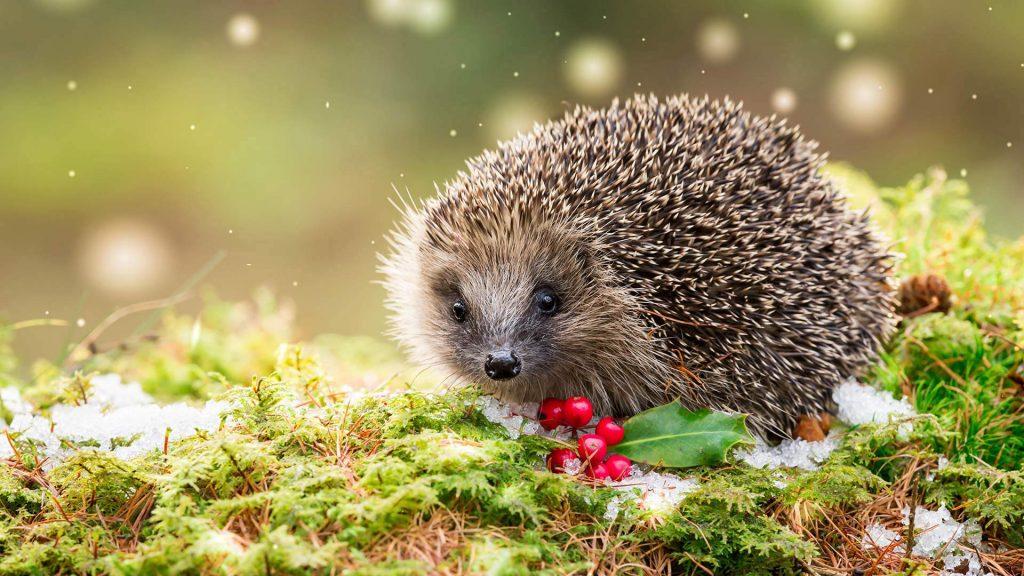 Hedgehog Holly
