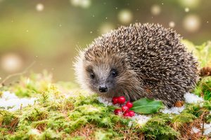 Hedgehog Holly
