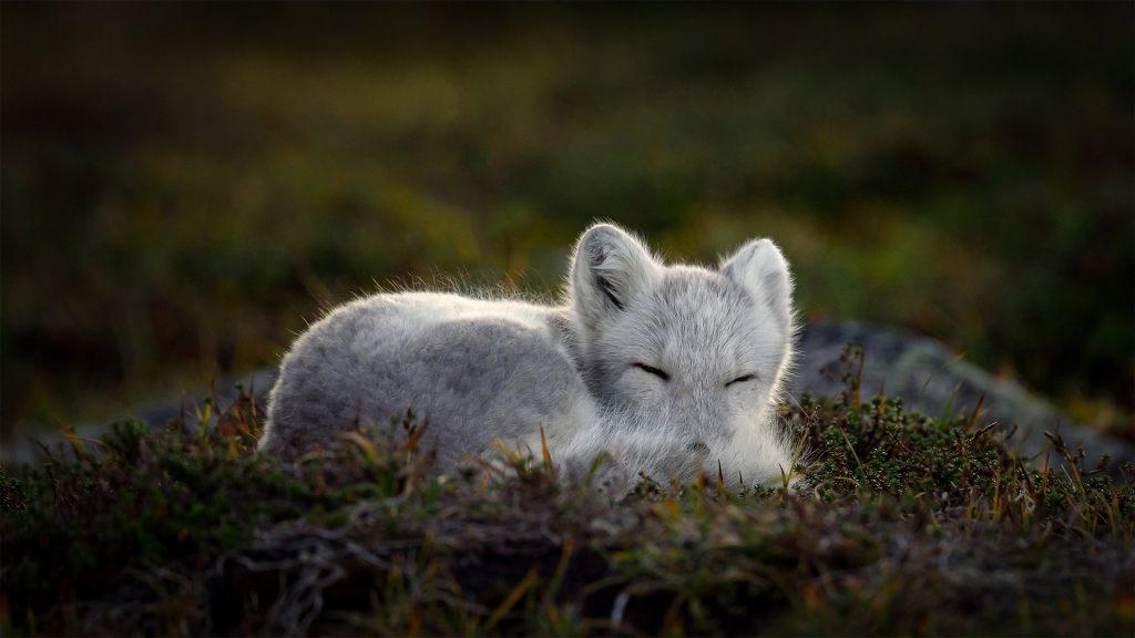 Sleeping Arctic Fox