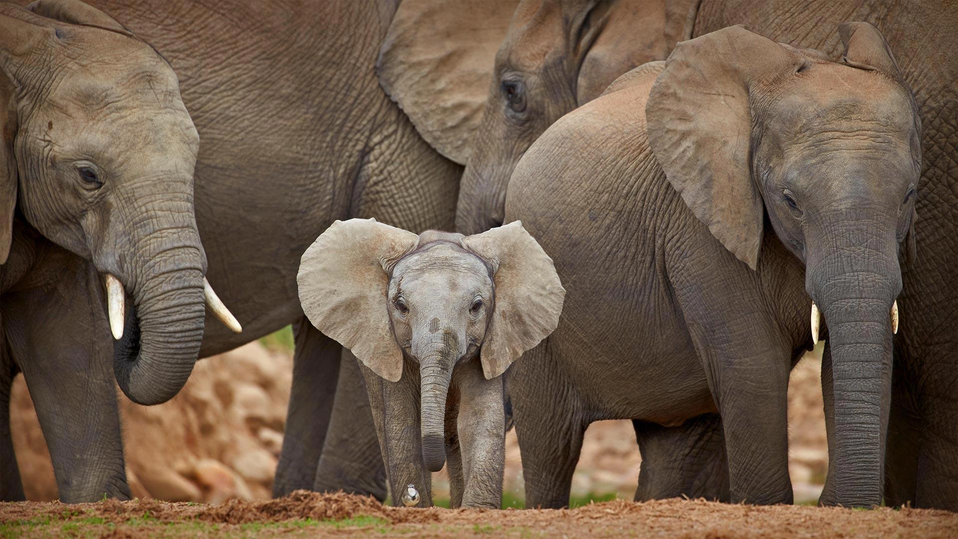 WCD Baby Elephant