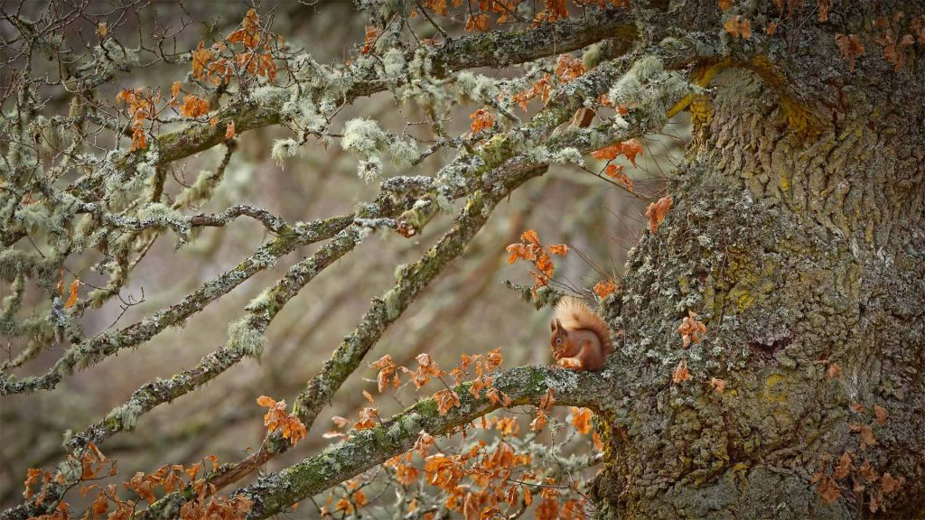 RS Oak Tree
