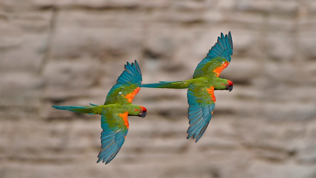 Red Front Macaw