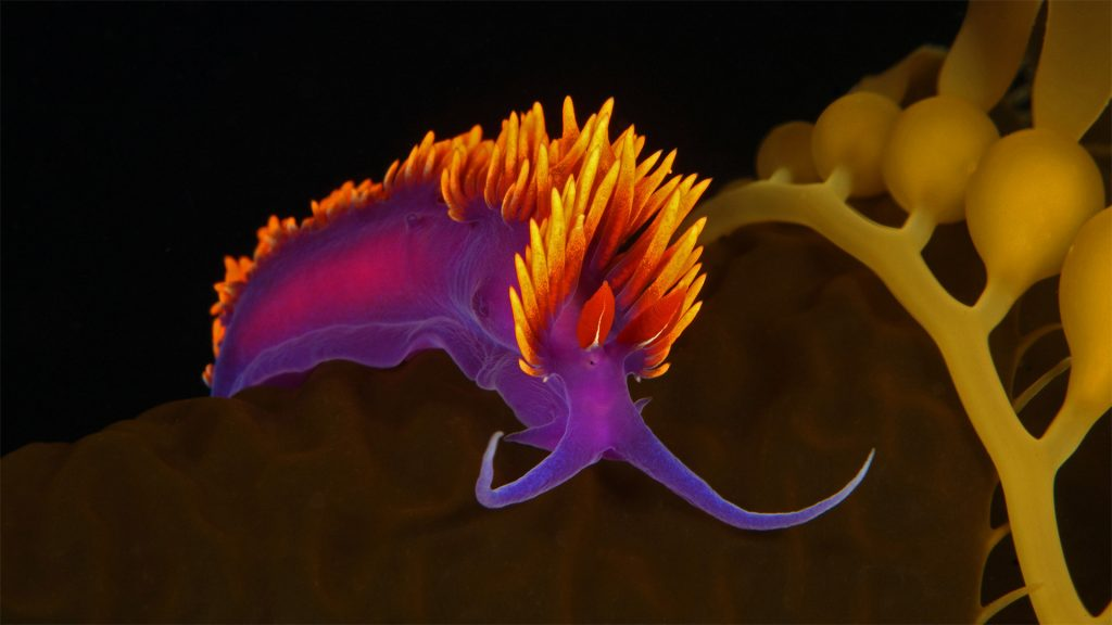 Spanish Sea Slug