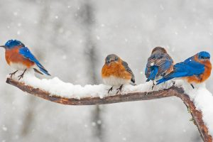 Bluebirds Eastern