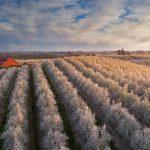 Central Cali Blossoms