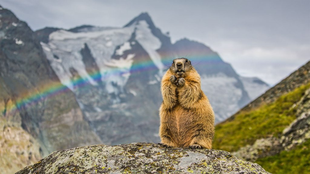 Rainbow Marmot