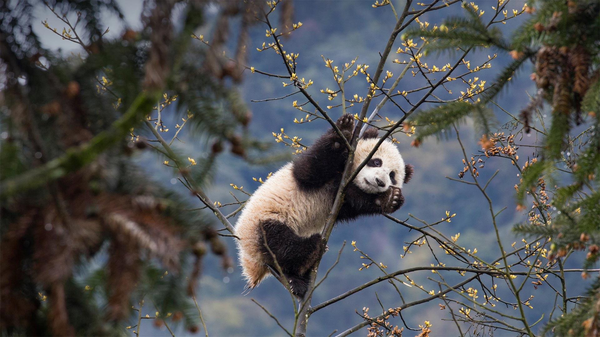Bifengxia Panda