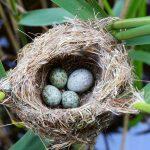 Kuckucksei Nest