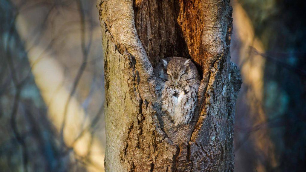 Massapequa Owl