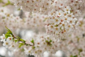 Blossoms BC