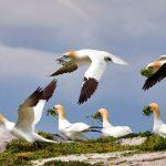 Gannets Saltee