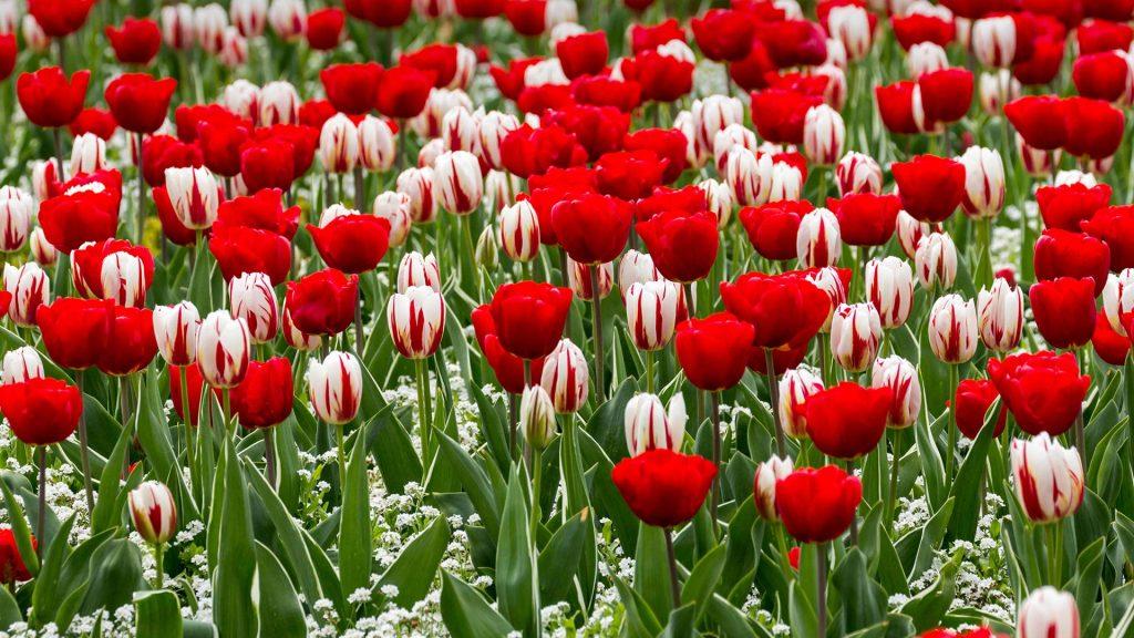 St George Tulip