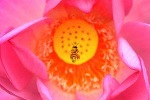 Bee Lotus