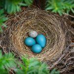 Cowbirds Egg
