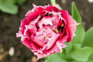 Frilly Tulip