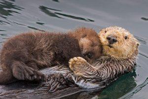 Otter Mom