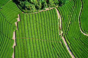 Tea Farm Uji