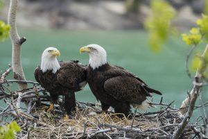 Yukon Eagles