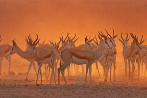 Estosha Springbok