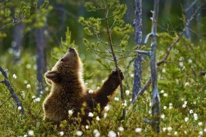 Finland Brown Bear